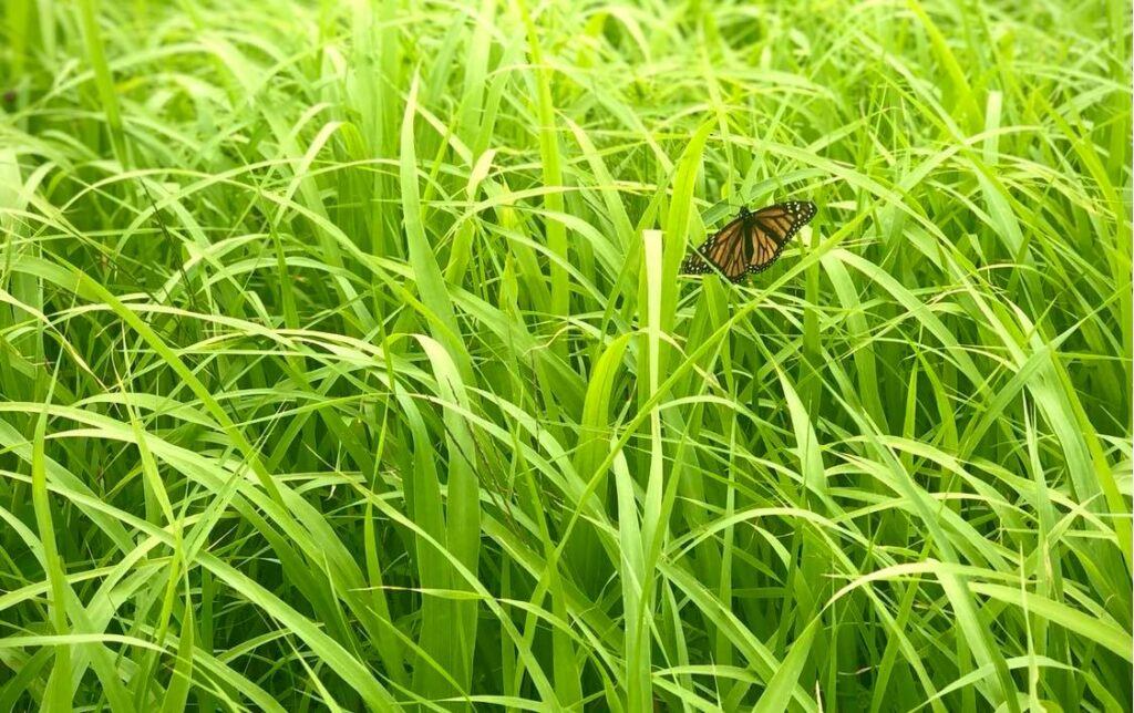 A butterfly in one of the test plots